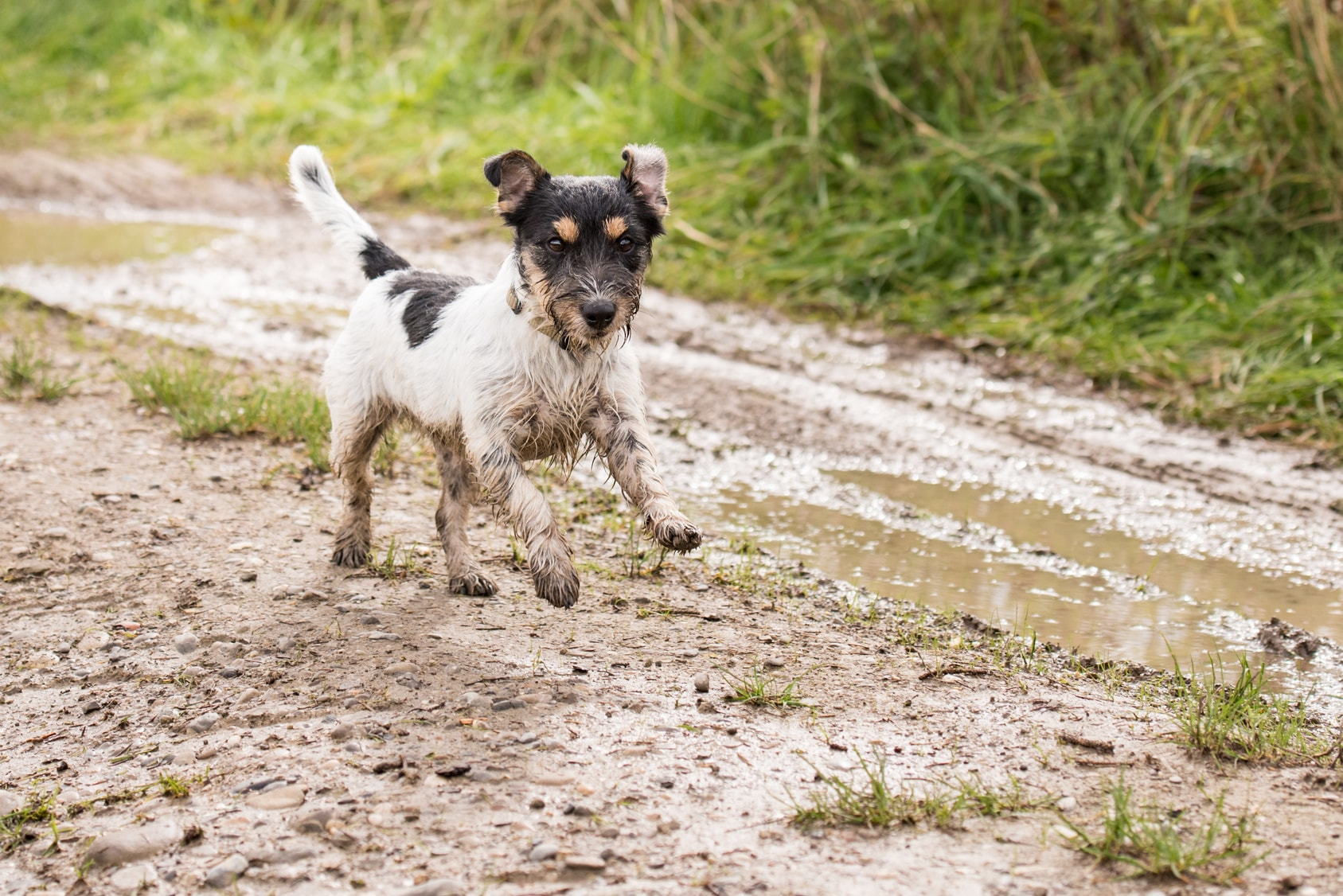 happy jack russell dog playing in mud